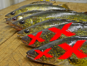 image of walleyes laid out on fillet table